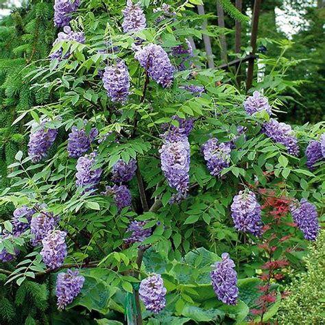 buy wisteria wisteria frutescens amethyst falls pbr 163 29 99 delivery by crocus
