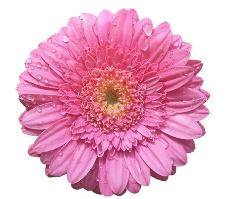 flores png rosas fondos de pantalla y mucho m 225 s flores png fondos de pantalla y mucho m 225 s