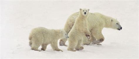 experts say that global warming makes animals shrink 10 best polar bears and global warming images on