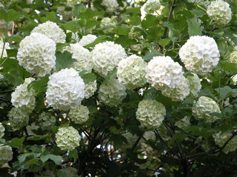 palla di neve fiore 10 viburnum facili da coltivare per siepi colorate e
