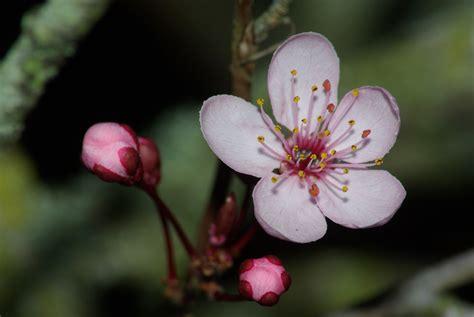 cherry blossom paul franklin photography