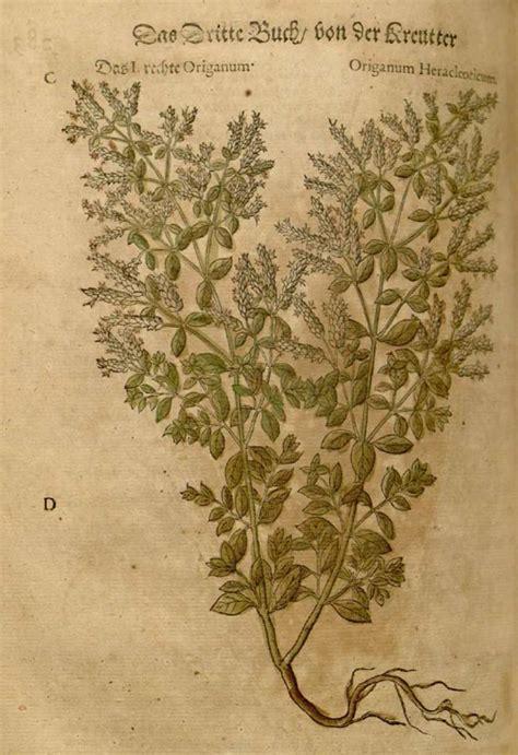 oregano origanum vulgare steckbrief eigenschaften