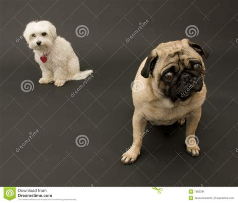 maltese and pug pug and maltese stock image image 7982391