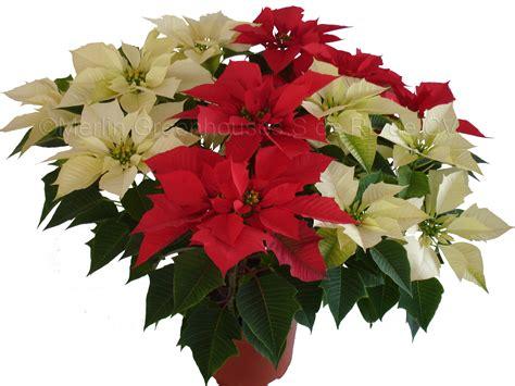 imagenes flores de nochebuena flor de nochebuena nochebueuna sensaci 243 n bicolor