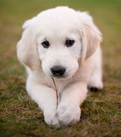 Healthylac For Puppies Kittens Isi 10 356 best great pyrenees dogs cats images on