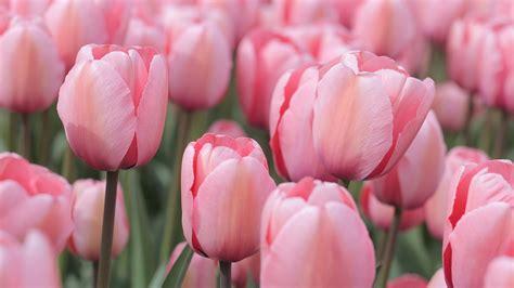 imagenes tulipanes rosas foto gratis tulipanes color de rosa co imagen