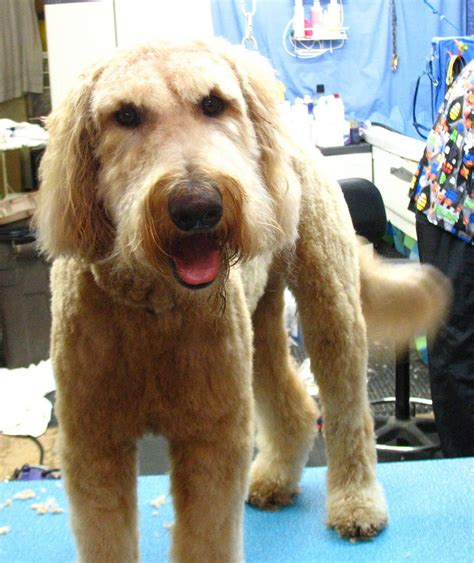 beard optionms for poodles bbird s groomblog grooming the goldendoodle