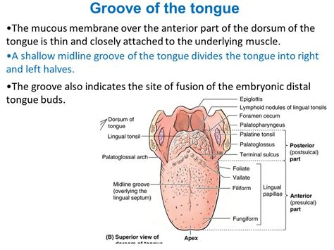 sections of the tongue clinical anatomy of oral cavity ppt download