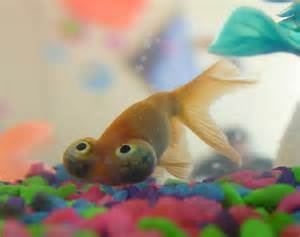 Plants & Flowers » Celestial Eye Goldfish