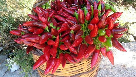 peperoncino vaso coltivare peperoncino peperoncino in vaso garden4us