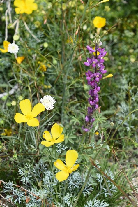 Anza Borrego Wildflowers 2017 by Wildflowers Take Over California S Desert In Record Super