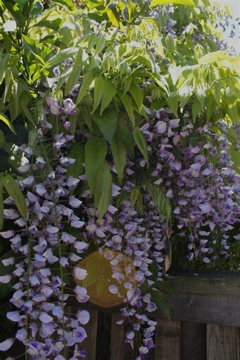 diy   natural fabric dye  wisteria gardenista