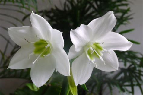 the reader white flower with a nice smell