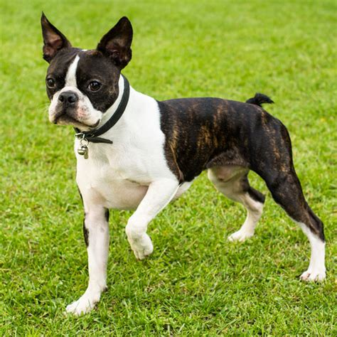 brindle boston terrier puppies get to the boston terrier the dapper