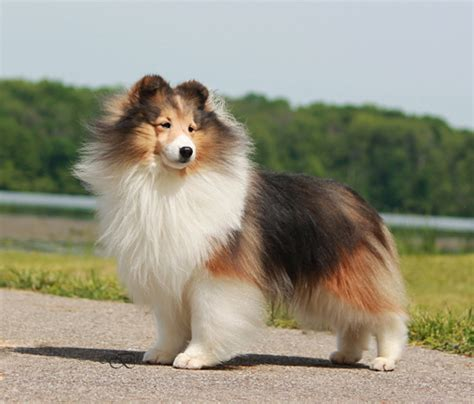 sheltie breed atwater s sheltie blessings our shelties