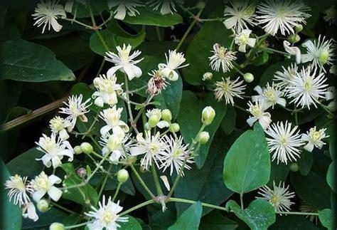 clematis fiore di bach fiori di bach vitalba pollicegreen