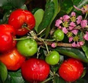 Bibit Benih Seeds Buah Cherry Cocok Daerah Panas Dan Dingin jual bibit unggul tanaman barbados cherry bibit