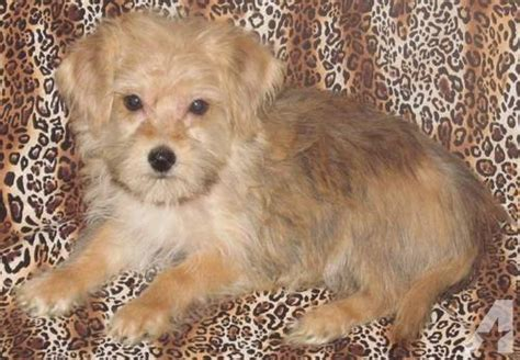 morkie puppies for sale mn morkie puppies for sale in meriden minnesota classified americanlisted