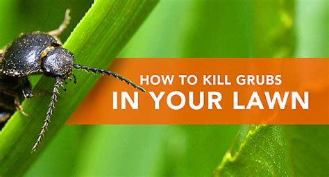 how to kill grubs naturally how to kill grubs in your lawn