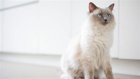 best of cat 10 cat breeds that the absolute best personalities