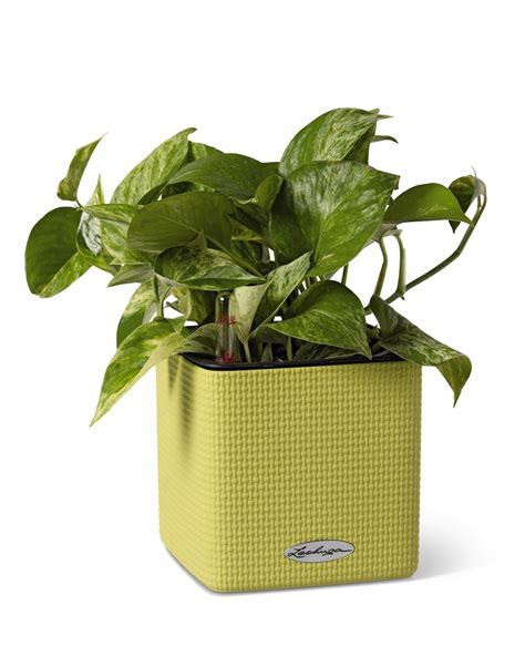indoor self watering basil plant dying herb planter mini cube self watering herb planter