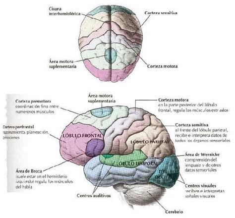 el cerebro obeso las biologia fotos dibujos imagenes dibujos del cerebro humano y sus partes 4 neuro