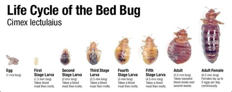 are bed bugs white phdmc bed bug information