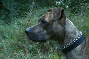 Picture 5 of 6 - American Pit Bull Terrier Pictures ...