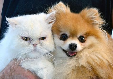pomeranian and cats 16 things all pomeranian owners must never forget