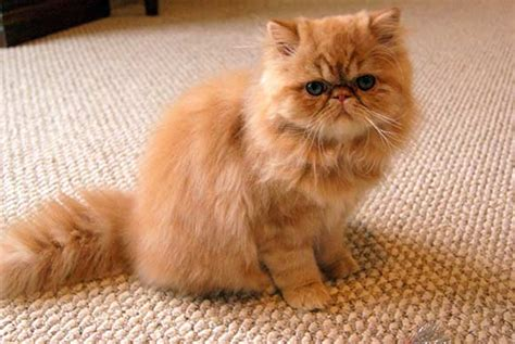 top 10 exquisite and beautiful cat breeds