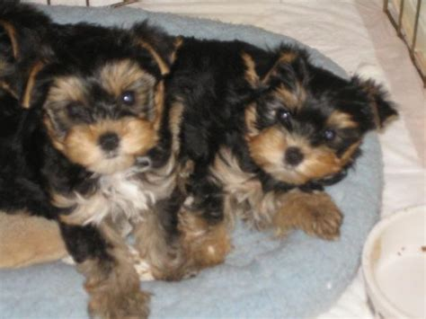 minnesota yorkie breeders teacup yorkie puppies free to home breeds picture