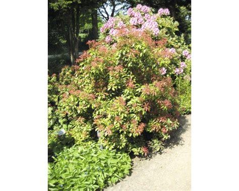 pflanzen immergrün winterhart pflanzen set vorgarten immergr 252 n 2 3 stk bei hornbach kaufen