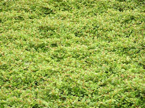 pattern bush leaf green free stock photos rgbstock free stock images leaves