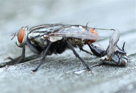how do bed bugs mate mating flesh flies are not necrophiliacs what s that bug