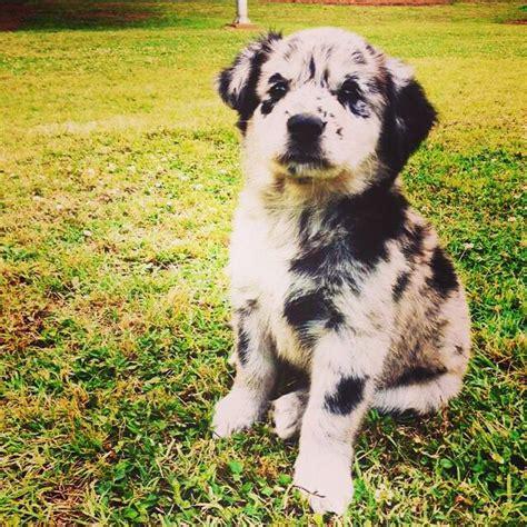 black lab australian shepherd mix puppy australian shepherd lab mix rescue animals i want to pinter