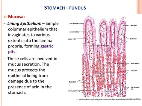 fundus of stomach function histology of digestive system oesophagus stomach fundus
