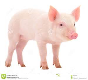 pig pictures kids