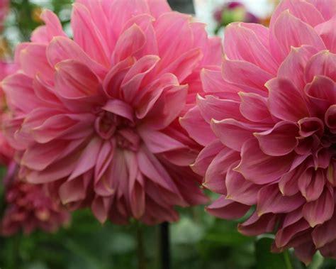 pink dahlias jpeg dahlia varieties hgtv