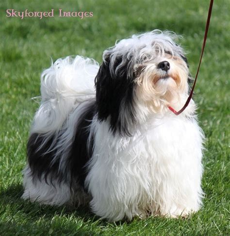 akc rules for giving a havanese a hair cut 1097 best havanese photos images on pinterest friends
