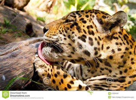 imagenes de jaguar y leopardo retrato del leopardo del jaguar que se lamen la pata