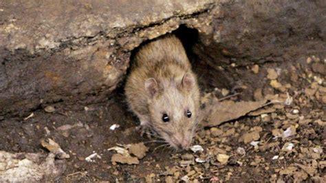 parks canada declares war on rats in haida gwaii world