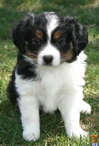 beautiful tri color mini aussie pup creation my