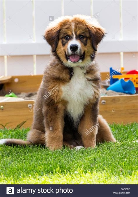 great bernese puppies twelve week bernese mountain great pyrenees mix breed stock photo royalty