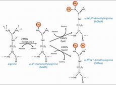 Deciphering Protein Arginine Methylation in Mammals ... L Arginine Results