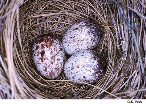 cardinal eggs color cardinal eggs cardinals