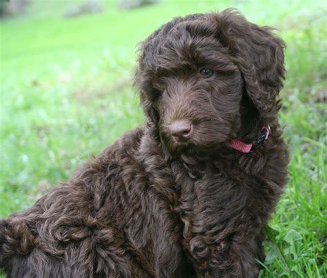 mini labradoodles michigan goldendoodle and labradoodle puppies from yesteryear acres