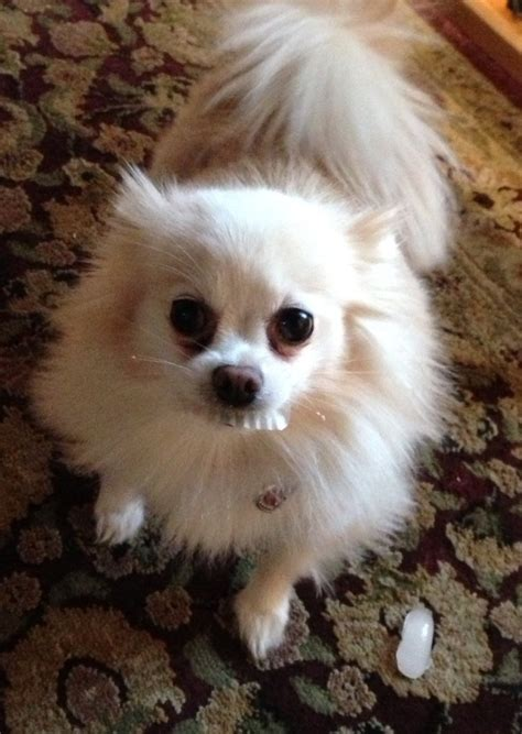 pomeranian baby teeth 36 best false teeth images on dental teeth and adorable animals