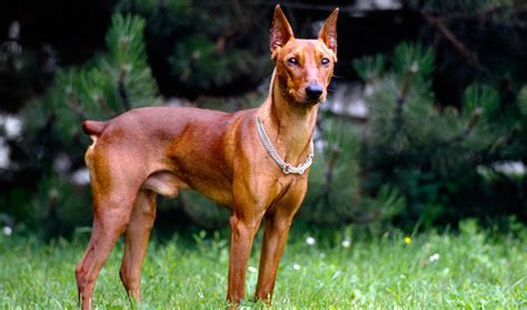 german pinscher puppies german pinscher breed information