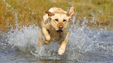 lepto in dogs leptospirosis in dogs risks and costs worms germs