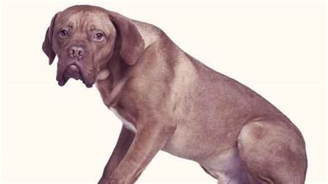 high white blood cell count in dogs what causes high white blood cell count in dogs petcarerx